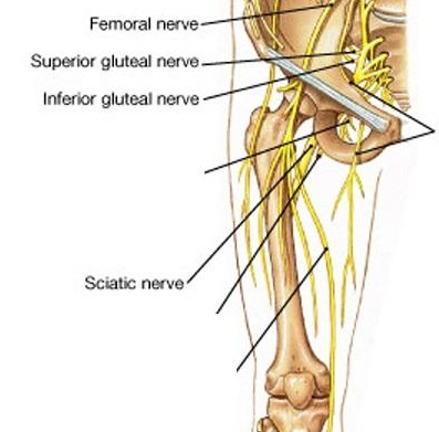 nerves_of_the_front_leg